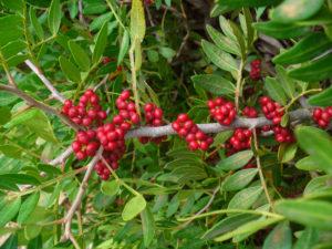 Chioská masticha - plody stromu Pistacia lentiscus