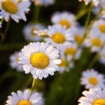 Čaje na menštruačné bolesti - harmanček