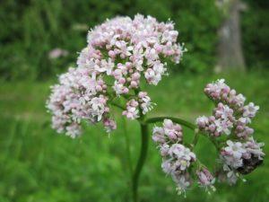Valeriána lekárska - krásna biela rastlina, z ktorej možno pripraviť čaj, ale aj tablety na spanie