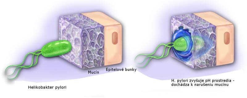 Helikobakter pylori prechádza mucínom