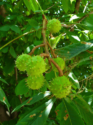Pagaštan konský - Aesculus hippocastanum L