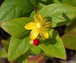 Ľubovník bodkovaný - kvet