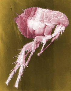 Blcha hmyz