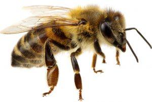 Včela - uštipnutie včelou
