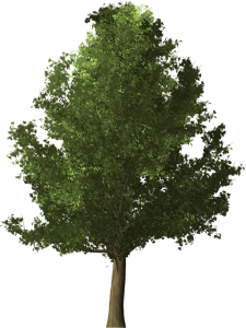Ginkgo biloba strom