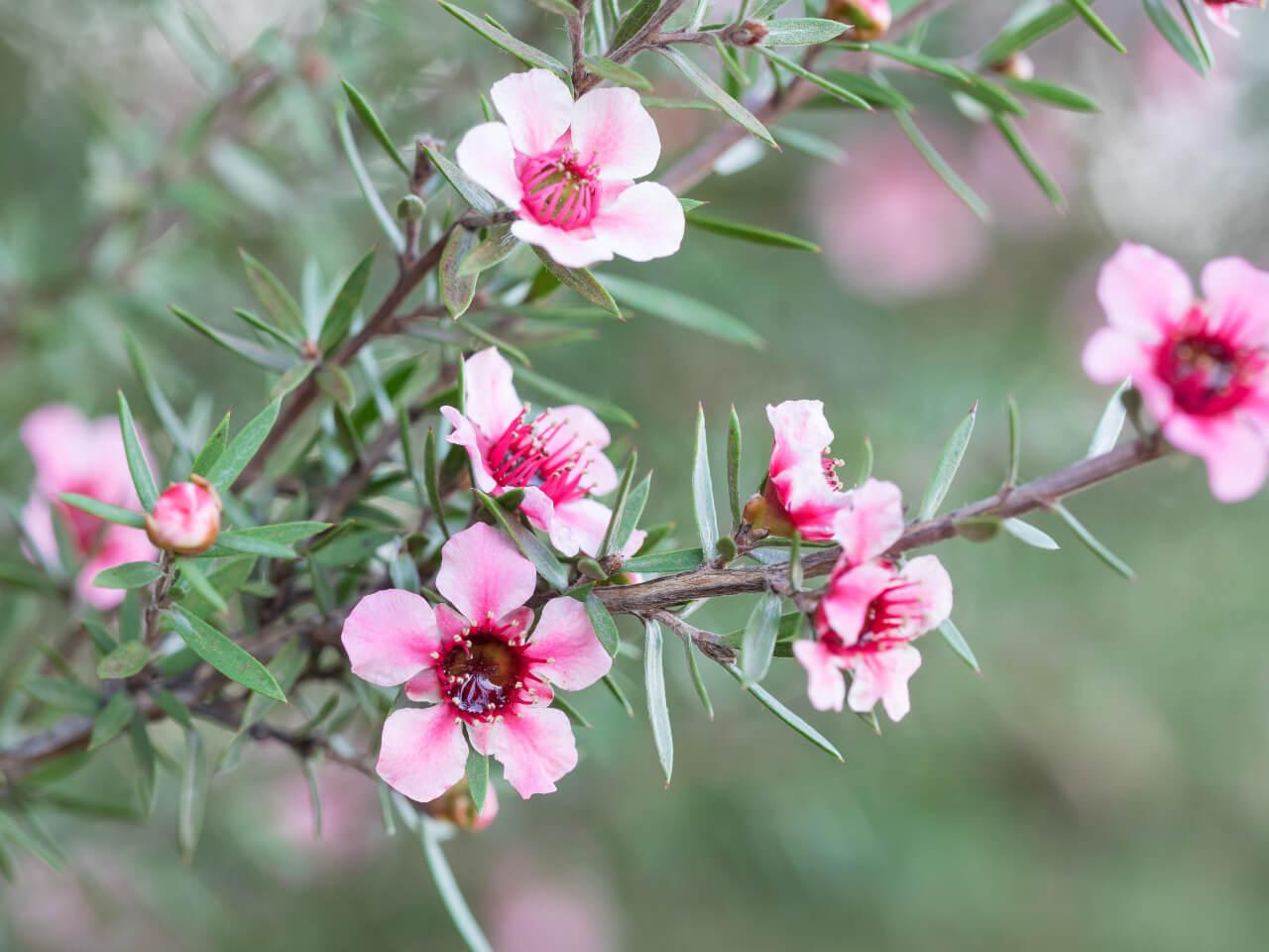 Tea tree olej pochádza z rastliny čajovník austrálsky (Melaleuca alternifolia)